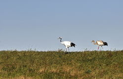 China Qiqihar Zhalong Wetland Red-crowned Crane Royalty Free Stock Photo
