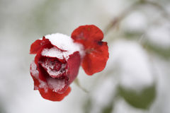 China red rose in white snow Stock Photo