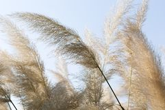 China reed, elephant grass, Miscanthus sinensis Stock Images