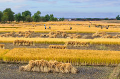 China rice field. Rice field in north China    make the provision of food for chinese people Royalty Free Stock Images