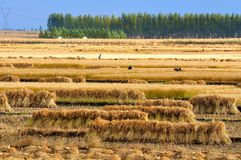 China rice field. Rice field in north China    make the provision of food for chinese people Stock Image
