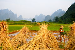 China Rice Field Work  Royalty Free Stock Photo
