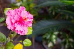 China rosada hermosa subió con el fondo verde Imagen de archivo libre de regalías