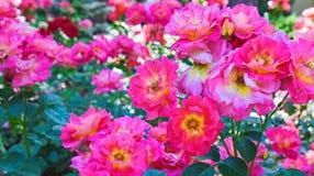 China rosada hermosa subió en primavera en el jardín Imagen de archivo libre de regalías