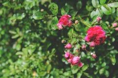 China rosada hermosa subió en primavera en el jardín Imagen de archivo