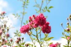 China rosada hermosa subió en primavera en el jardín Fotografía de archivo