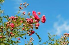 China rosada hermosa subió en primavera en el jardín Imagenes de archivo