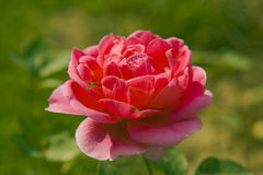 China rose Stock Images