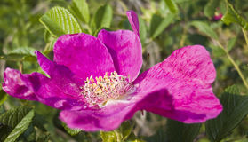 China rose. Is very lovely Royalty Free Stock Photos