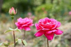 China rose Stock Image