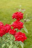 China rose stock photos