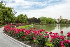 Free China Rose Royalty Free Stock Images - 41633979