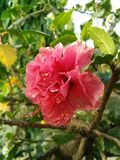 China rose. A beautiful China rose ...looks awesome Royalty Free Stock Image