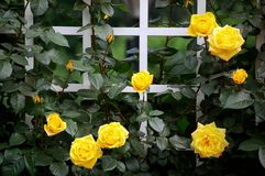 China rose. Blooming China roses in early summer stock photo