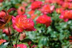 China rose Royalty Free Stock Photo