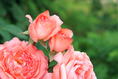China rose Royalty Free Stock Image