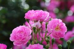 China Rose en jardín fotos de archivo libres de regalías