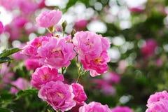 China Rose en jardín imágenes de archivo libres de regalías