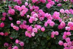 China Rose en jardín fotos de archivo
