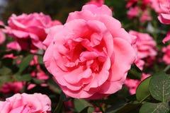 China Rose en jardín fotografía de archivo libre de regalías