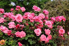 China Rose en jardín imagen de archivo