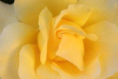 China Rose en jardín foto de archivo