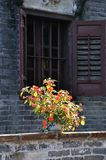 China rose flower in front of an old window Stock Image