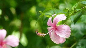 China rose flower and wind stock video