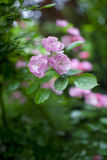 China rose with green leaf Stock Images