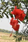 China Rose-Red Flower In India royalty free stock photo