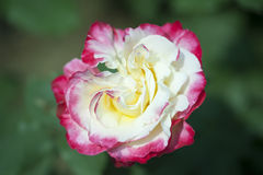 China rose rosa chinensis jacq Stock Images