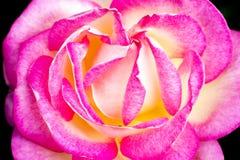 china rose rosa chinensis jacq Stock Photos