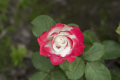 china rose rosa chinensis jacq Royalty Free Stock Image
