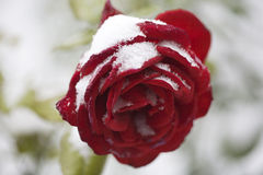 China-Rotrose im weißen Schnee Stockfoto