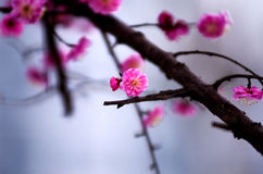 China's beautiful plum Stock Photography