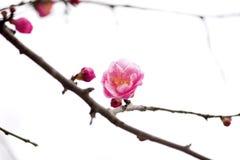 China's beautiful plum royalty free stock photo