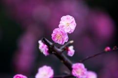 China's  beautiful plum Stock Photos