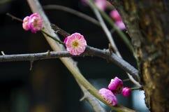 China's  beautiful plum Royalty Free Stock Photos