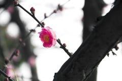 China's  beautiful plum Royalty Free Stock Photography