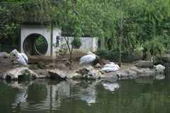 China's Hangzhou Zoo_Pelicans. Pelicans with fishing nets like small jets like the capsule fishing and food, a large seabird Royalty Free Stock Image