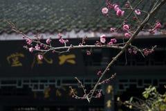 China& x27; s mooie pruim Royalty-vrije Stock Fotografie