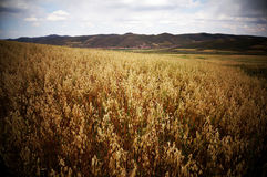 China's wheat fields Royalty Free Stock Photos