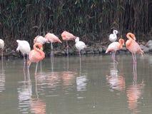 China, Shanghai, Stadt Safari Park, die Flamingos stockfotos