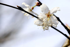 This is China South pear flower. Royalty Free Stock Photography