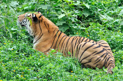 China Southern tiger in grass. A China Southern tiger is playing in grass Royalty Free Stock Photos