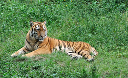 China Southern tiger resting on grass. A China Southern tiger is resting on grass under shadow, shown as beautiful fur and featured face Stock Photo