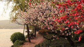 China Spring Blossoming Cherry Lake. Blossoming cherry in Hangzhou, China stock video footage