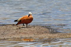 China, Tibet, duck ruddy Shelduck adorna ferruginea on the bank of the Holy Buddhist lake Manasarovar stock images