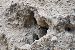 China. Tibet, gray rodent ochotona peeps out of the mink on the shore of lake Manasarovar.  royalty free stock images