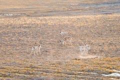China tibetan antelope Stock Photography